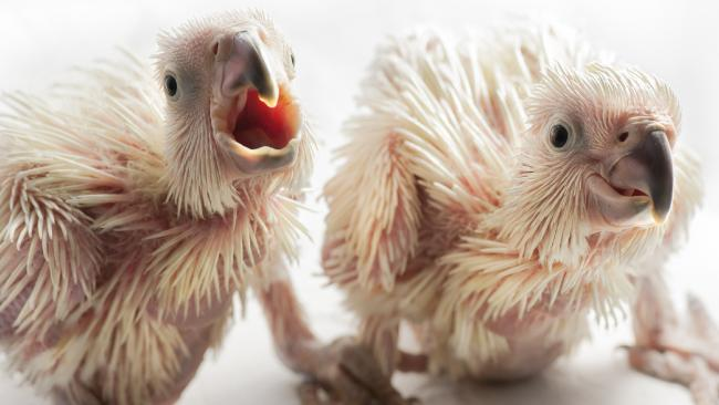 Cockatoo Cacatua chicks